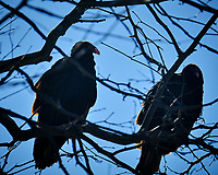 Turkey Vultures in a tree. Image taken with a Fuji X-T2 camera and 100-400 mm OIS lens (ISO 200, 400 mm, f/6.4, 1/500 sec)