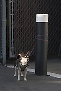 Dog tied to a post in Ukiah, California.