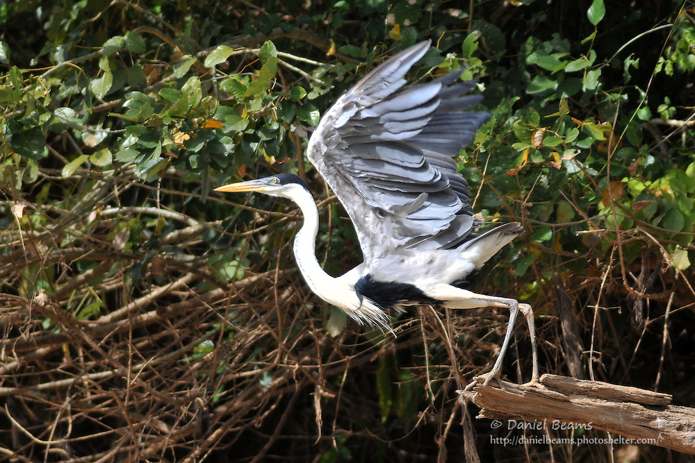 Cocoi Heron on the Secure River in the Isiboro-Secure National Park, Beni, Bolivia