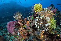 Colorful Crinoids extend their arms to feed on plankton drifting in the current<br /> <br /> Shot in Indonesia