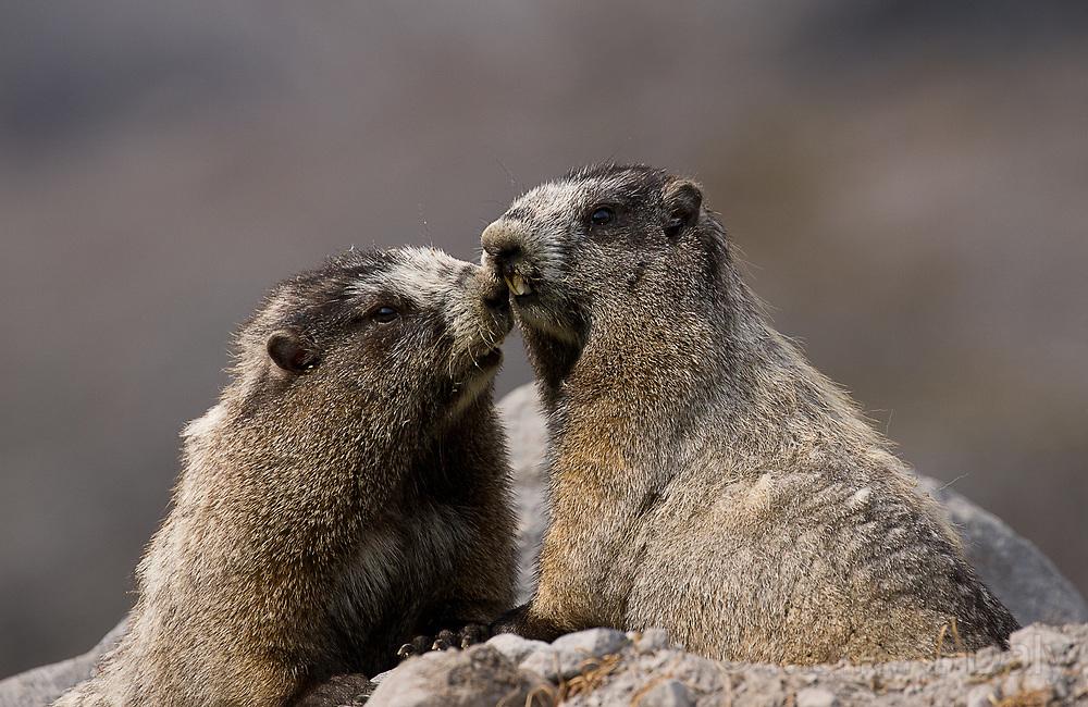 Hoary Marmots Greeting