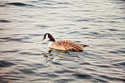 A Canadian Goose basks in the early morning sun on Lake Ontario, Toronto Canada.