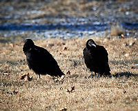 Juvenile Turkey Vultures. Image taken with a Nikon D5 camera and 600 mm f/4 VR lens (ISO 180, 600 mm, f/5.6, 1/640 sec).