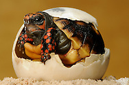 """Red-footed tortoise, Geochelone carbonaria, look out of a broken egg. A nest has 4-8 hard-shelled eggs. The young animals hatching in circa 100-150 days after egg deposition. The eggs lay and bury in sand or earth. The development time depends on temperature and humidity. Distribution: South America. This picture is part of the series """"Escape into life""""..Köhlerschildkröte, Geochelone carbonaria, schaut aus dem rundherum schon weit aufgebrochenen Ei hervor. Ein Gelege besteht aus 4-8 hartschaligen Eiern. Die Jungtiere schlüpfen ca. 100-150 Tage nach der Eiablage. Die Eier werden in Sand oder Erdboden gelegt und dann vergraben. Die Entwicklungsdauer hängt von Temperatur und Luftfeuchtigkeit ab. Verbreitung: Südamerika. Diese Bild ist Teil der Serie ,,Ausbruch ins Leben""""."""