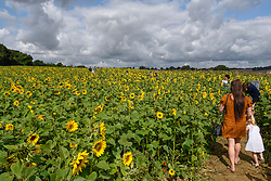 © Licensed to London News Pictures. 20/08/2019. ST ALBANS, UK.  People walk amongst sunflowers on a dry day at Pop-Up Farm, a family run and family friendly farm that welcomes thousands of visitors each year at a series of pop-up farming festivals.  The forecast is for the temperatures to warm up ahead of the August Bank Holiday Weekend. Pop-Up Farm is the vision of Ian and Gillian Pigott who are passionate about farming, education and the environment. The Pigott family have been farming in Hertfordshire for many generations.  Photo credit: Stephen Chung/LNP