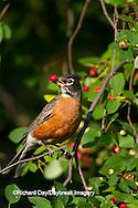 01382-05109 American Robin (Turdus migratorius) eating Serviceberry (Amelanchier canadensis) Marion Co., IL
