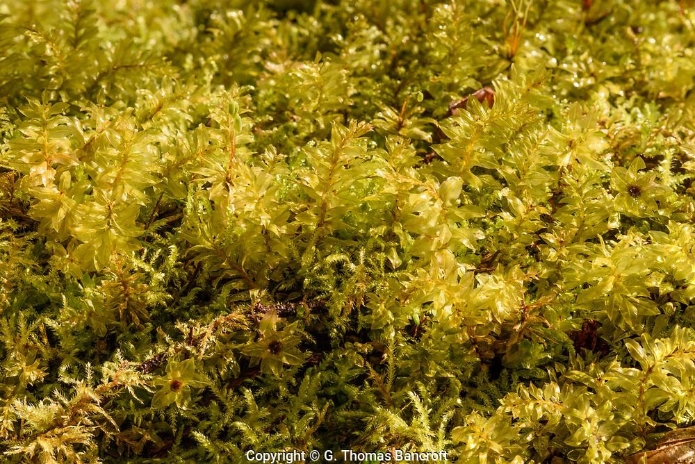 Plagiomnium insigne -- Badge Moss