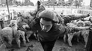 Javier Calvelo/ URUGUAY/ FLORES/ La Ruta de la Lana - La Carolina / Proyecto documental acerca de las actividades relacionadas a la produccion lanera en Uruguay/ Escuela Agraria La Carolina Ruta 23 Km. 163 , Localidad: Ismael Cortinas - Flores/ Escuela agraria nivel terciario perteneciente a la UTU.  Duraci&oacute;n: dos a&ntilde;os y medio (2 a&ntilde;os en la escuela y 6 meses de pasant&iacute;a). T&iacute;tulo: T&eacute;cnico en sistemas intensivos de producci&oacute;n animal. <br /> En la foto: Clase de esquila con la t&eacute;cnica Tally-Hi en la Escuela Agraria La Carolina, en Ismael Cortinas - Flores. Foto: Javier Calvelo /adhocFotos<br /> 2013-08-28 dia miercoles