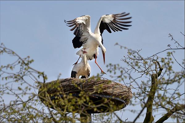Nederland, Ubbergen, 13-4-2015Lente in de Ooijpolder.Deze twee ooievaars hebben zojuist gepaard in hun nest bij logement Oortjeshekken in de Ooijpolder. Het nest is bevestigd in een boom, wat niet vaak gebeurd. Meestal staan ze op vrijstaande palen.FOTO: FLIP FRANSSEN/ HOLLANDSE HOOGTE