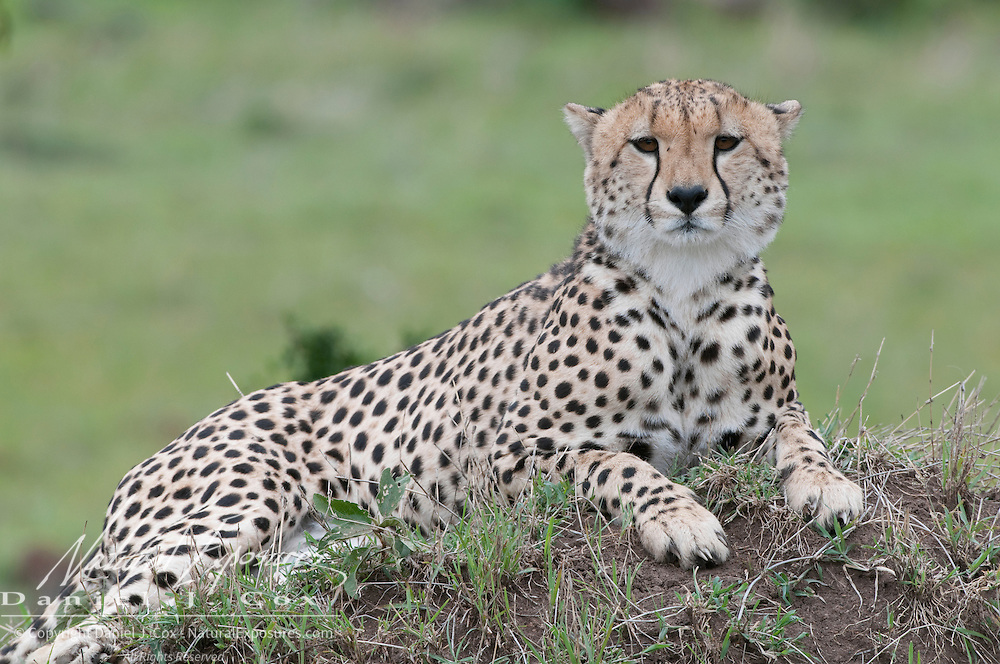 Cheetah (Acinonyx jubatus) in the Masai Mara National Reserve. Kenya, Africa