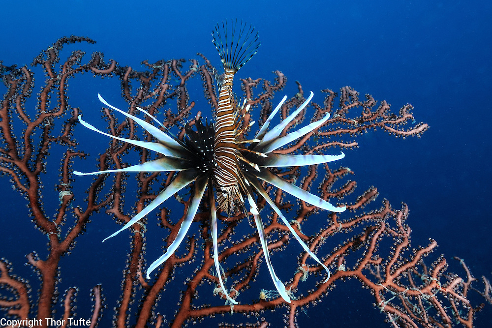 Lionfish hanging on a Deepwater Seafan. On the reefs on the south coast of The Dominican Republic.