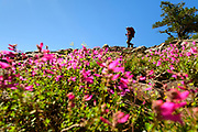A hiker walks through a field of rock penstemon near Susie Lake in the Desolation Wilderness area of South Lake Tahoe, North America.