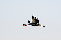 Black Crowned Crane in flight, Zakouma National Park, Chad