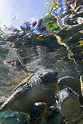 Swimming with the turtles at Satoalepai, Savaii, Western Samoa