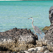 Great Blue Heron at Bahia Balandra. La Paz, BCS. Mexico.