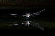 Pallid Bat, Antrozous pallidus, Santa Cruz County, Arizona