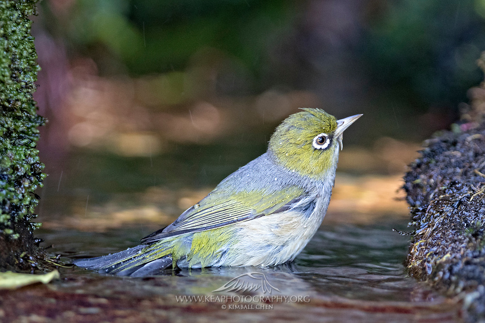 A bathing silvereye, New Zealand