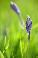 new bluebell flowers about to burst from bud