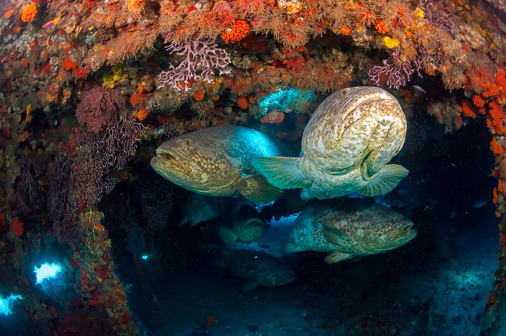 Goliath Grouper, Epinephelus itajara, gather inside the Mispah shipwreck offshore Singer Island, Florida, United States, during a spawning aggregation i August 2014.