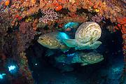Goliath Grouper, Epinephelus itajara, gather inside the Mispah shipwreck offshore Singer Island, Florida, United States, during a spawning aggregation i August 2014.