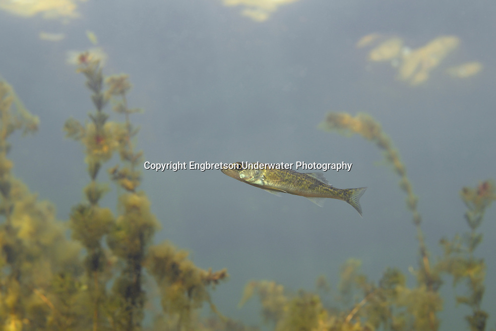 Walleye Fingerlings (age 0, young-of-year fish)<br />