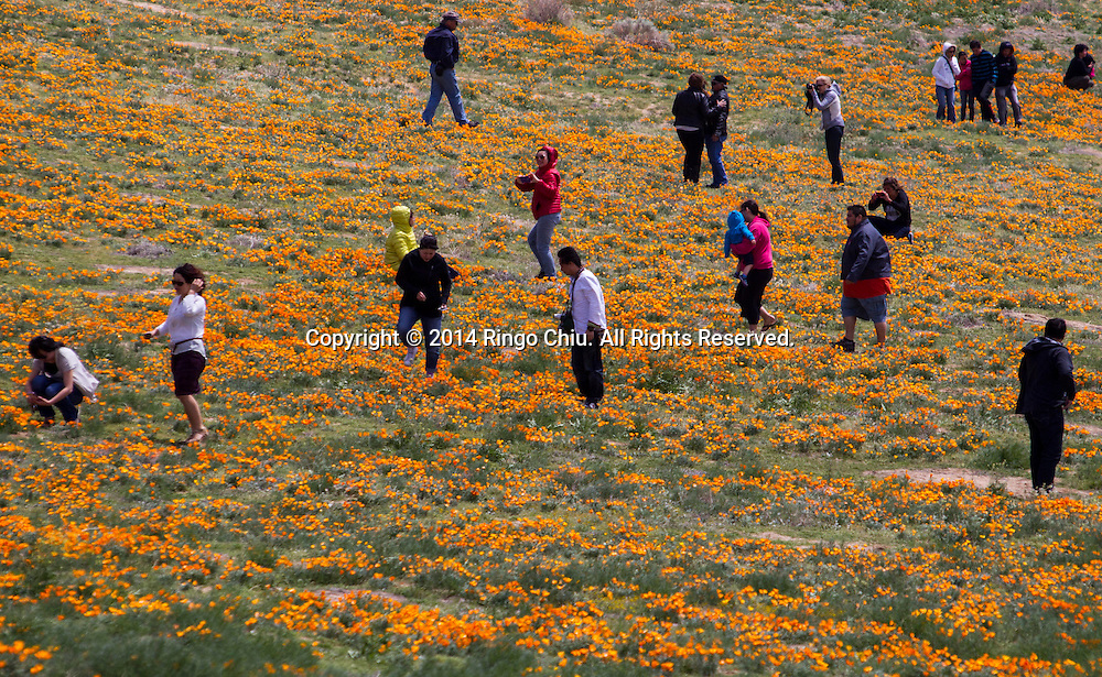 People walk through a field of poppies near Antelope Valley in Lancaster, California, Sunday, April 27, 2014. The California poppy is the state flower. Wildflowers are showing up in massive quantities throughout desert areas in Southern California because of recent rains. (Photo by Ringo Chiu/PHOTOFORMULA.com)