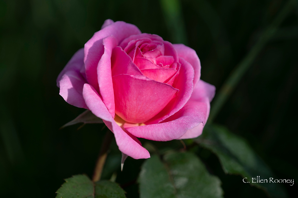 A dew covered pink rose in a border at Lower Severalls Farmhouse,  Crewkerne, Somerset, UK