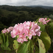 Dombeya acutangula subsp rosea is a critically endangerd plant species in Mondrain Nature Reserve, Curepipe, Mauritius. Mondrain is a small patch of forest at the top of a hill in the middle of a sugar cane plantation - it is a reservoir for many endangered endemic species in Mauritius.
