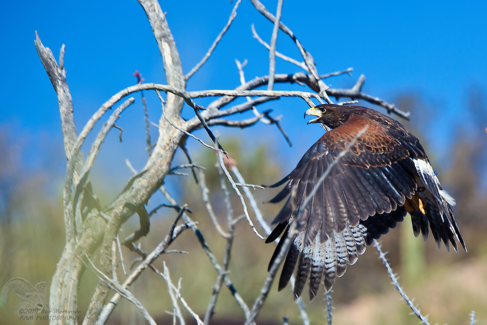 """A young, male, Harris Hawk lands on a tree during the """"Free Flight"""" exhibit at the Tucson, Arizona/Sonora Desert Museum. The family of hawks perform a hunt in front of visitors to the museum, soaring close to onlookers."""