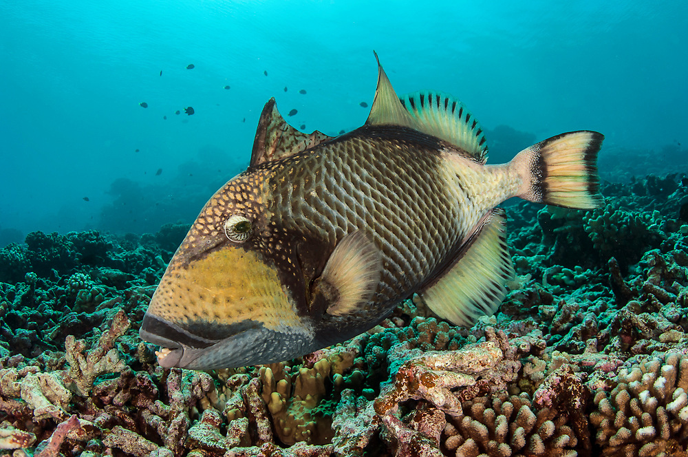 Titan Triggerfish, Balistoides viridescens, courting and nest building in the shallows of Tetamanu Pass in Fakarava Atoll, French Polynesia, a UNESCO World Heritage Site