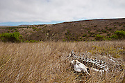 The fading bones of an elk are all that is left to testify of the 20th century ranching and sport hunting era gone by the way of history out on Santa Rosa Island, California, on Aug. 5, 2012 (Photo by Aaron Schmidt © 2012)