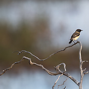 Siberian Stonechat or Asian Stonechat (male)<br /> Saxicola maurus