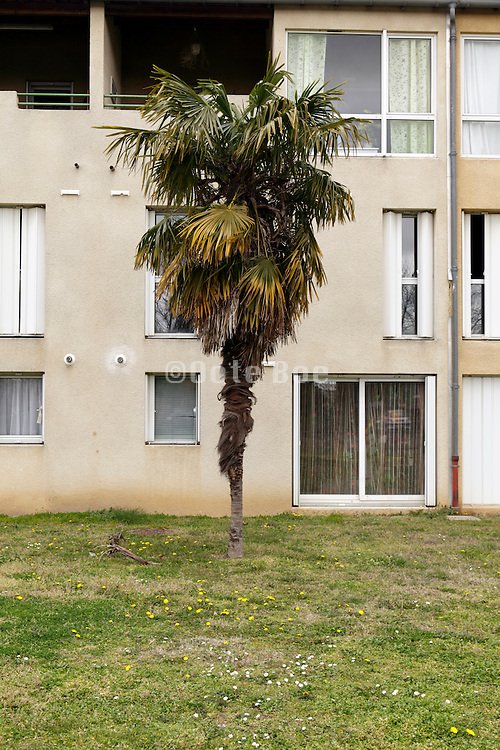 dilapidated palm tree in front of residential housing