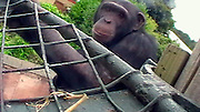 """Scotland, United Kingdom - <br /> <br /> Bananavision! Chimps Given Special Video Camera To Make Their Own Film<br /> <br /> A television programme that puts the cameras in the hands of the 'stars' themselves has just been completed in an extraordinary wildlife experiment. The celebs concerned are a close-knit group of 11 chimpanzees at Edinburgh Zoo who were provided with a specially built 'Chimpcam' so that they could film one another. The experiment, which resulted in the pictures published here, was aimed at discovering whether chimpanzees can understand visual messages in the same way as humans. Behavioural scientist Betsy Herrelko, of Stirling University Psychology Department, spent 18 months at the zoo, and her work is revealed in (MUST CREDIT) a forthcoming BBC documentary titled 'The Chimpcam Project' (to be broadcast in the UK in BBC2's 'Natural World' series on Wednesday January 27). The documentary shows chimps becoming engrossed in the high-tech video gadgetry that the Royal Zoological Society of Scotland allowed Betsy to install to study the apes.<br /> The project has been carried out within the zoo's so-called Budongo Trail, a world-class chimpanzee enclosure, where an array of video cameras and monitors have allowed the chimps to create their own long-running 'soap opera'. Most of the action has been taking place in recently built 'research pods' within the chimp habitat – quiet rooms where the animals have learned to react with the equipment. """"It enabled us to catch a glimpse of life as viewed by the great apes themselves,"""" says Betsy Herrelko. """"The chimpanzees learned to use a computer with a touch-screen monitor that allowed them to view different areas of their home – and to choose the film footage they wished to see.""""<br /> ©Nigel Blundell/Exclusivepix"""