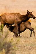 Cow elk, calf elk, nursing, Cervus Canadensis, Charles M Russell National Wildlife Refuge, Montana