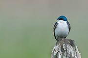 A perched male tree swallow (Tachycineta bicolor), Lee Metcalf National Wildlife Refuge, Montana