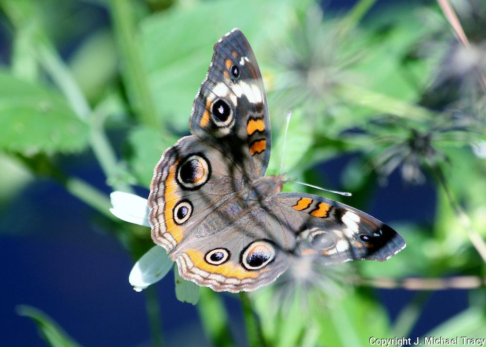 Georgia butterfly, a Common Buckeye Butterfly on a bush on Jekyll Island.