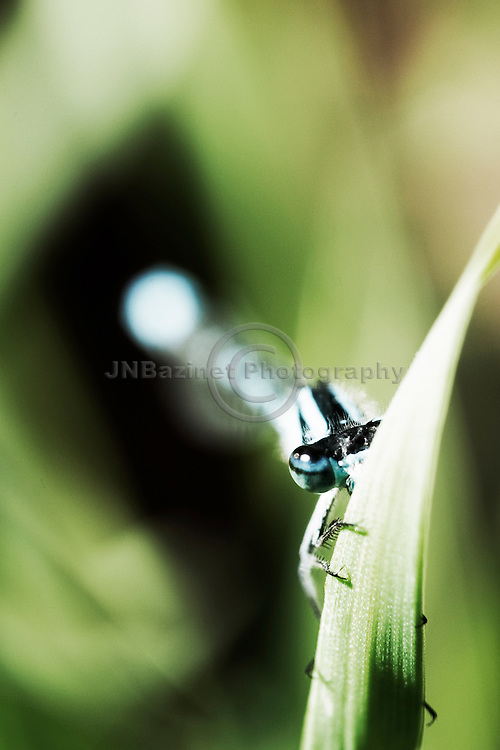 Adult male Blue-tailed Damselflies have a head and thorax patterned with blue and black