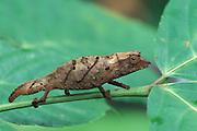 Dwarf Chameleon<br /> Rhampholeon spectrum<br /> Cameroon, base of Mt. Cameroon