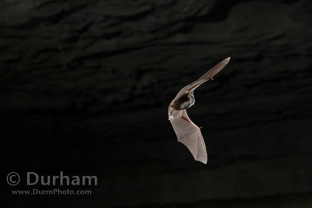 An endangered Indiana bat (Myotis sodalis) emerging from Wyandotte Cave in Indiana. The Indiana bat is listed as an endangered species by the U.S. Fish and Wildlife Service. Populations have been decimated by habitiat loss and and and an invasive fungal infection: white nose syndrome.