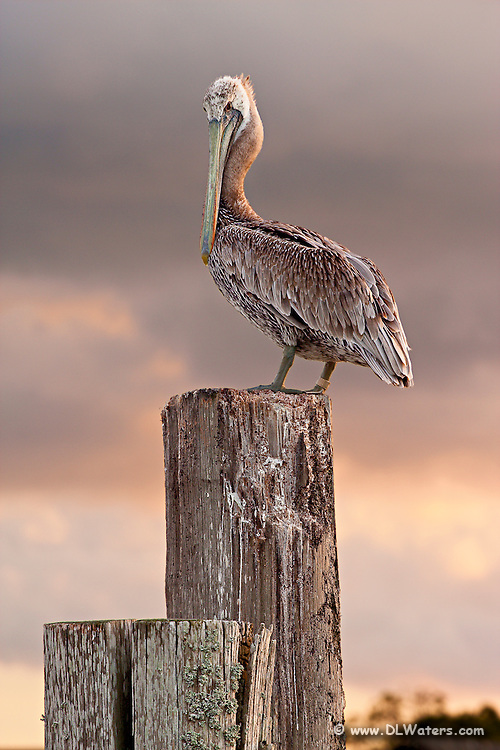 A Brown pelican changing into its winter breeding plumage. Once .it's finished molting its brown head will turn yellow. Photographed .on Ocracoke Island North Carolina.