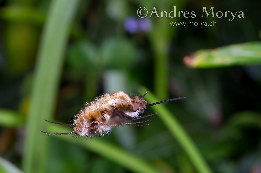 Large Bee Fly, Bombylius major, in Flight. Is a bee mimic. Switzerland, Europe<br /> <br /> High Speed Photographic Technique Image by Andres Morya