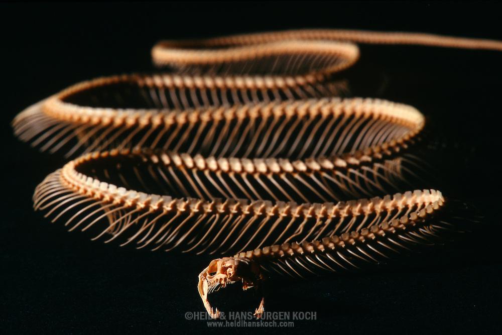 DEU, Deutschland: Schlange, Skelett einer Schlange, innerhalb der Wirbeltiere haben Schlagen die meisten Wirbel, eine große Python hat mehr als 400, das macht sie besonders beweglich, Museum für Naturkunde der Humboldt Universität Berlin| DEU, Germany: Snake, skeleton of a snake, within vertebrates snakes have the highest number of vertebras, a big python has more than 400, this means extreme flexibility, Natural History Museum of the Humboldt University of Berlin |
