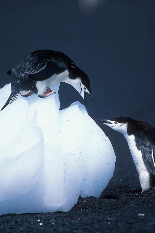 Antarctica, Deception Island, Chinstrap penguins (Pygoscelis antarctica) on black volcanic sand beach lined with icebergs