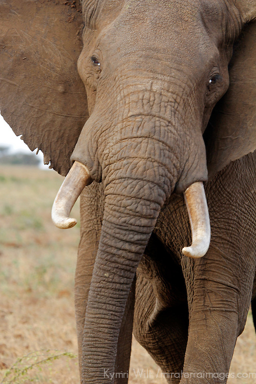 Africa, Kenya, Meru. Tusked elephant at Meru National Park.
