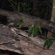 The Asian palm civet (Paradoxurus hermaphroditus), also called toddy cat, is a small member of the Viverridae family native to South and Southeast Asia.