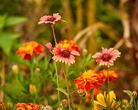 Blanket Flower & Marigold. Image taken with a Nikon 1V3 camera and 70-300 mm VR lens