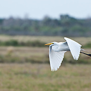 Great Egret (Ardea alba), at Merritt Island National Wildlife Refuge, Florida. Photo by William Drumm 2013.