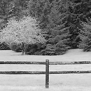 Roadside Apple Tree - Hwy 199 - Six River National Forest - Northern CA - Infrared Black & White