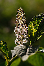 Oosterse karmozijnbes, Phytolacca esculenta
